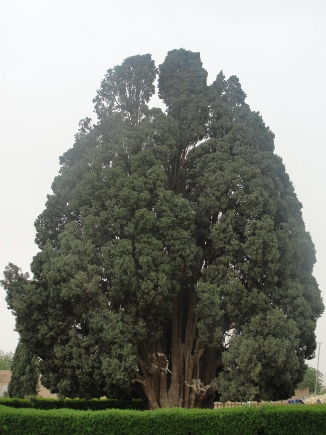 The Oldest US Trees